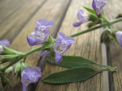 sage flowers close-up