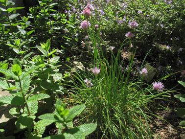 chives mint herb garden