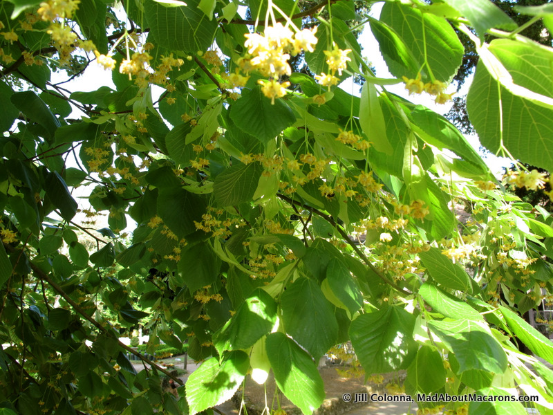 linden lime blossom or French Tilleul tree