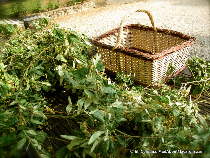 harvesting lime or linden blossom in Normandy