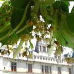 lime or linden blossom at azay le rideau loire castle