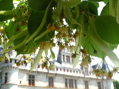 Lime or linden blossom at Azay le Rideau castle Loire Valley