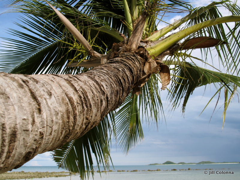 Coconut tree Thailand beach