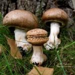 mini mushroom macaron