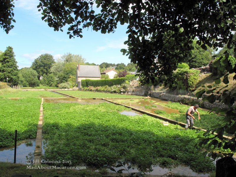 harvesting in watercress beds