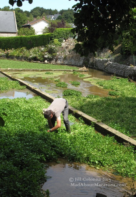 harvesting watercress in Normandy