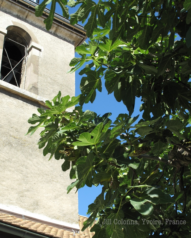 Fig tree at the church in Yvoire