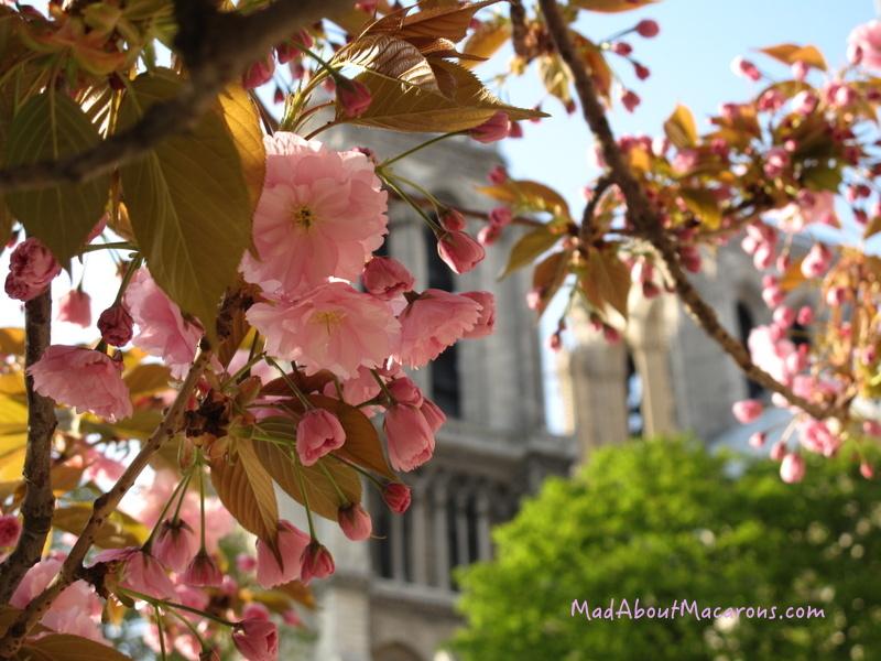 Spring blossoms Notre Dame Paris