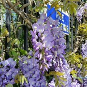 Wisteria in Paris