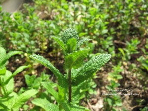 Moroccan mint for cooking
