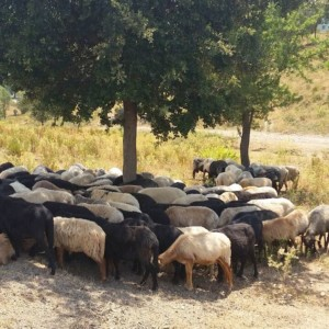 sheep and goats in Corsica